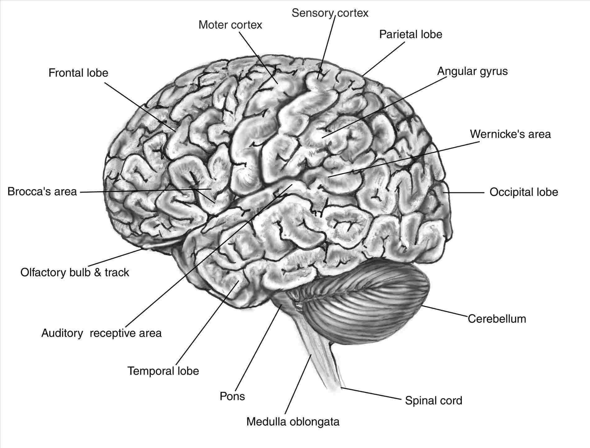 Brain Diagram Labeled Label Brain Diagram Wiring Diagram
