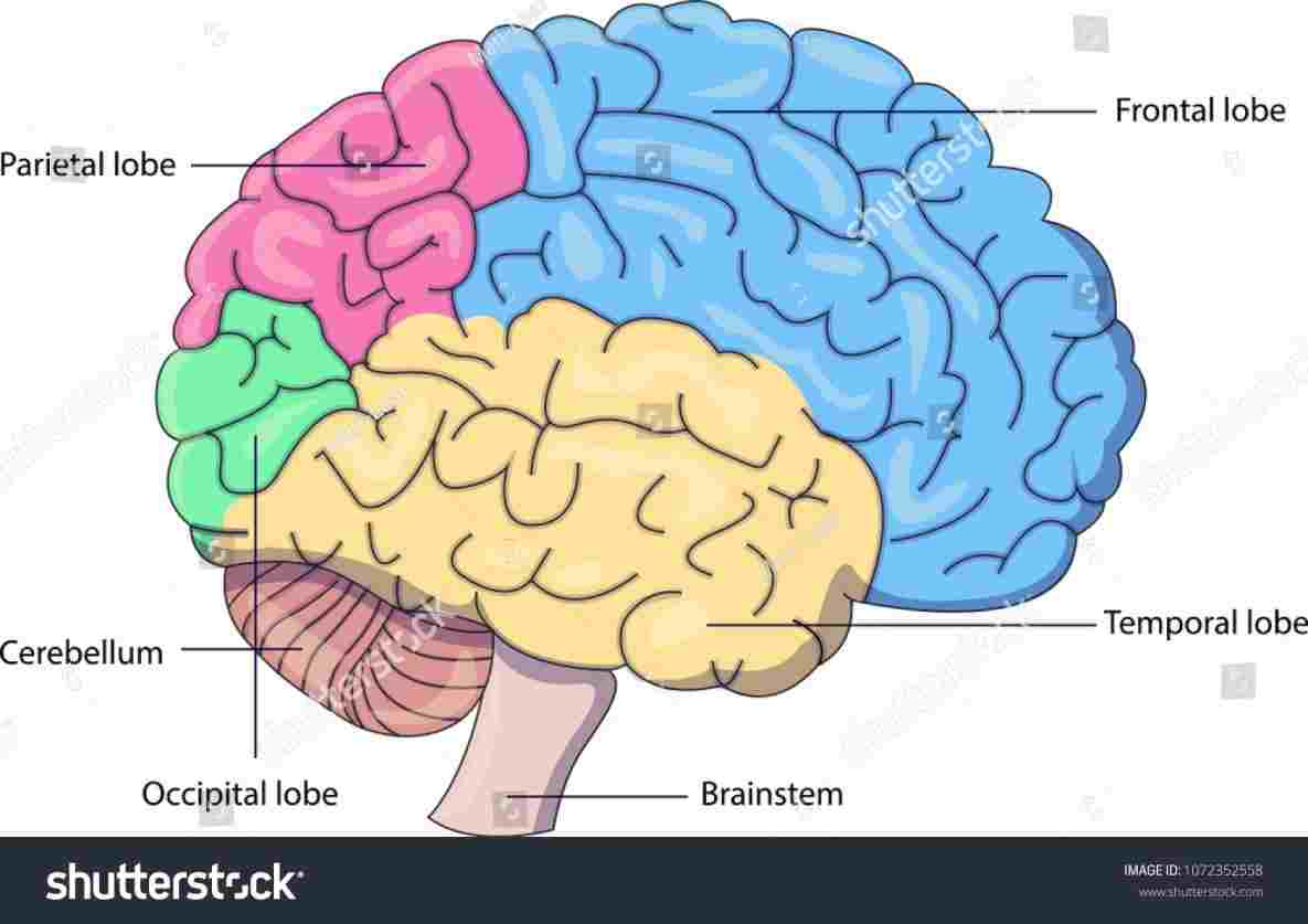 Brain Diagram Labeled Labeled Diagram Of The Brain Diagram Of Anatomy