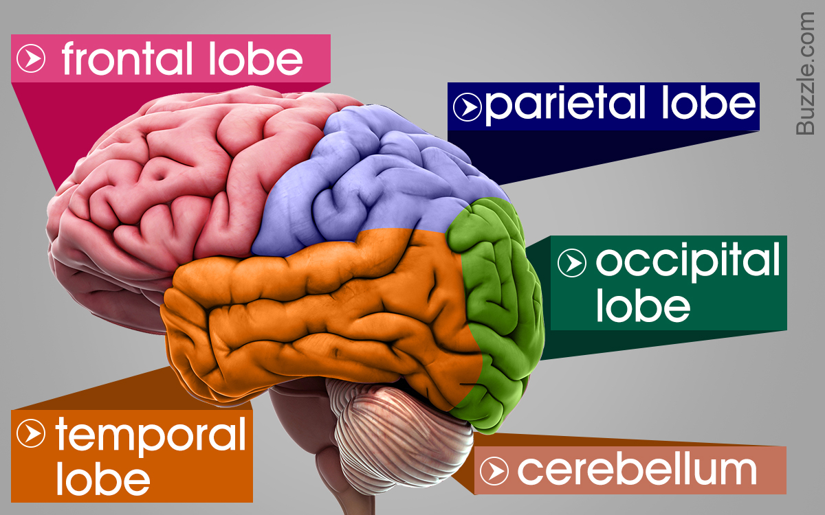 Brain Diagram Labeled Labeled Diagrams Of The Human Brain Youll Want To Copy Now