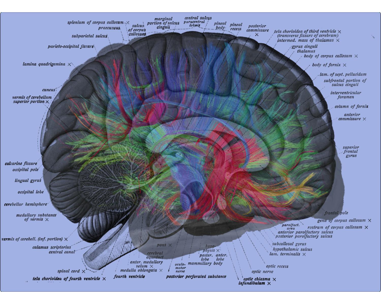 Brain Diagram Labeled Mri Neural Brain Map Overlay On Human Brain Label Diagram Jacob Irwin
