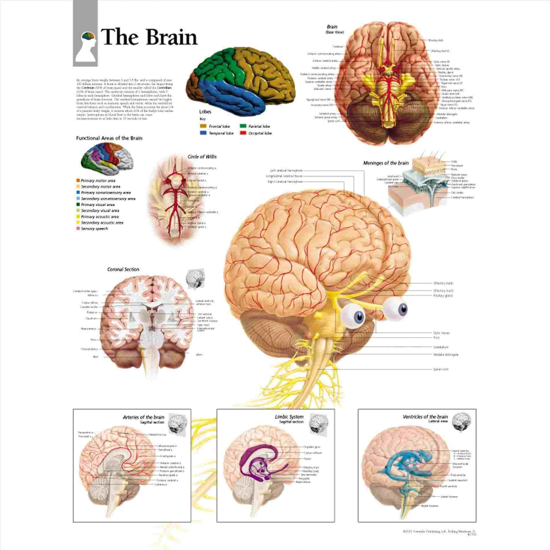Brain Diagram Labeled Structure Of The Brain Diagram Diagram Anatomy Body