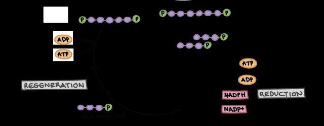 Calvin Cycle Diagram The Calvin Cycle Article Photosynthesis Khan Academy