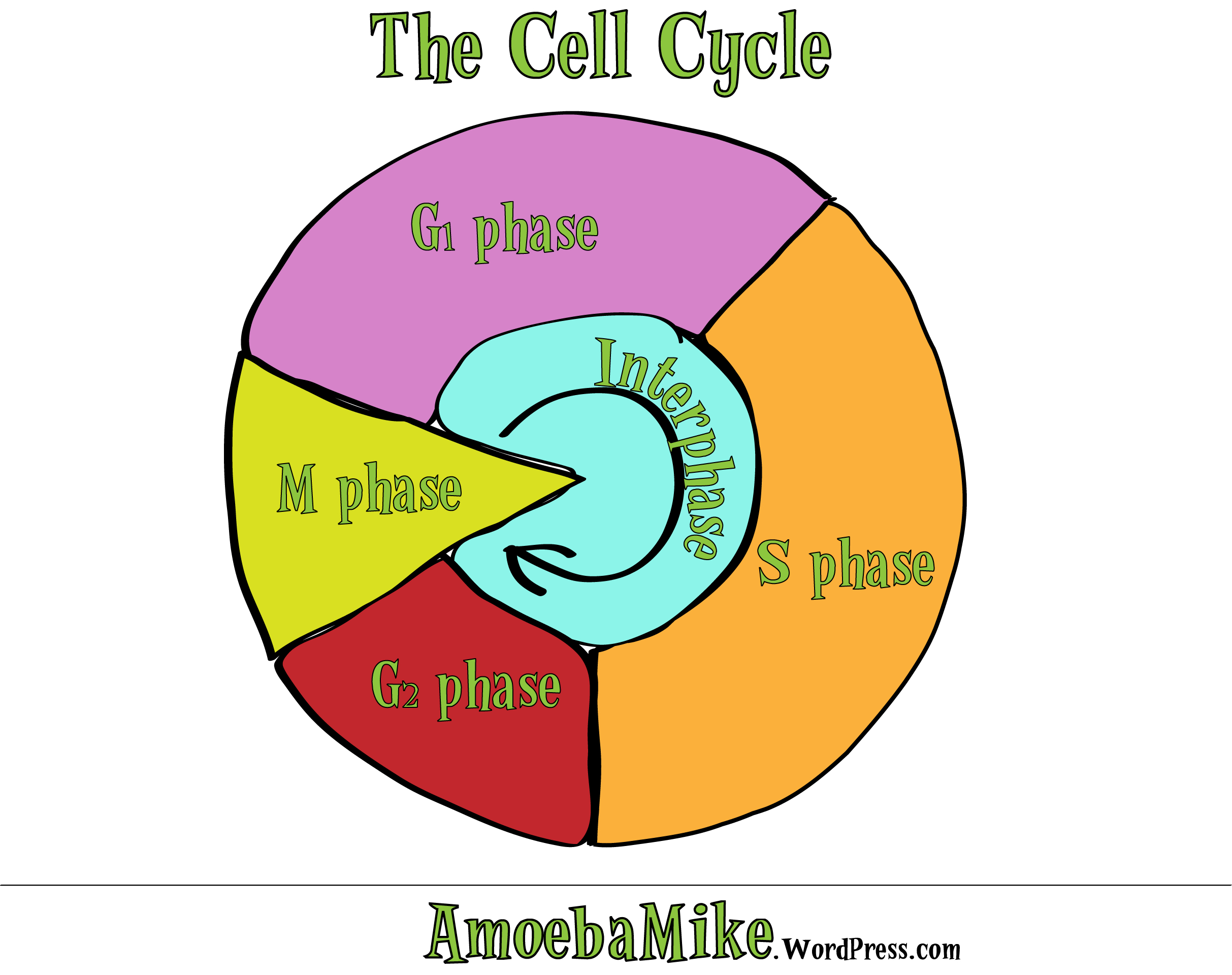 Cell Cycle Diagram Cell Division An Intro Amoebamike