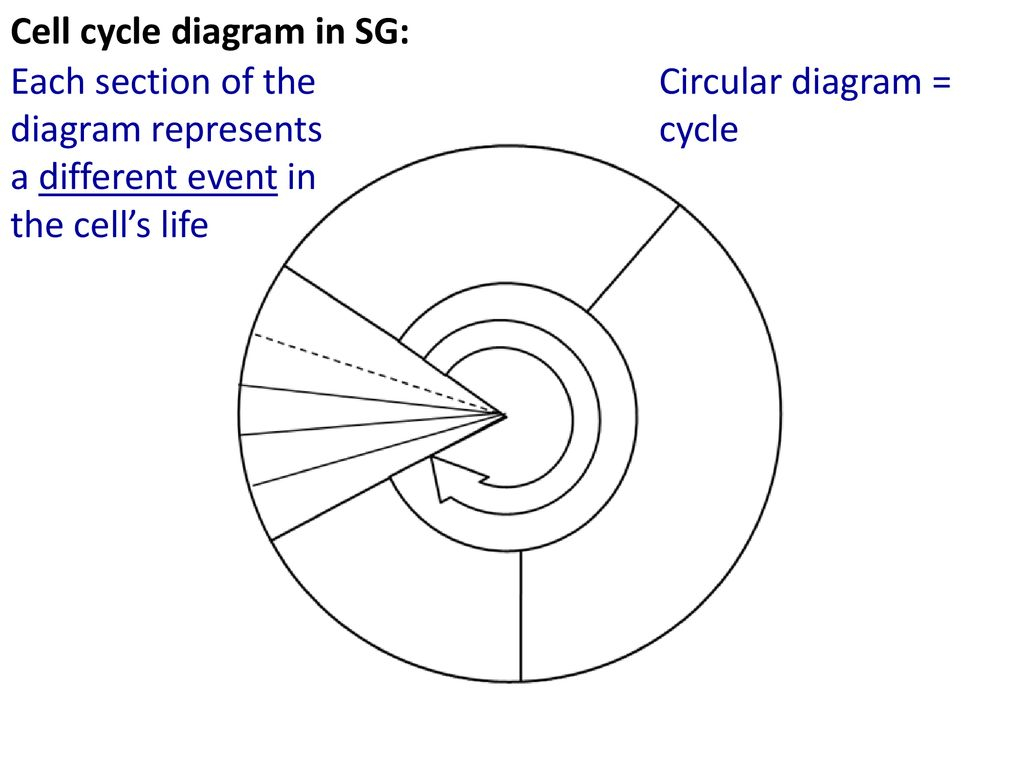 Cell Cycle Diagram Just As Humans Go Through A Life Cycle Cells Go Through A Cell