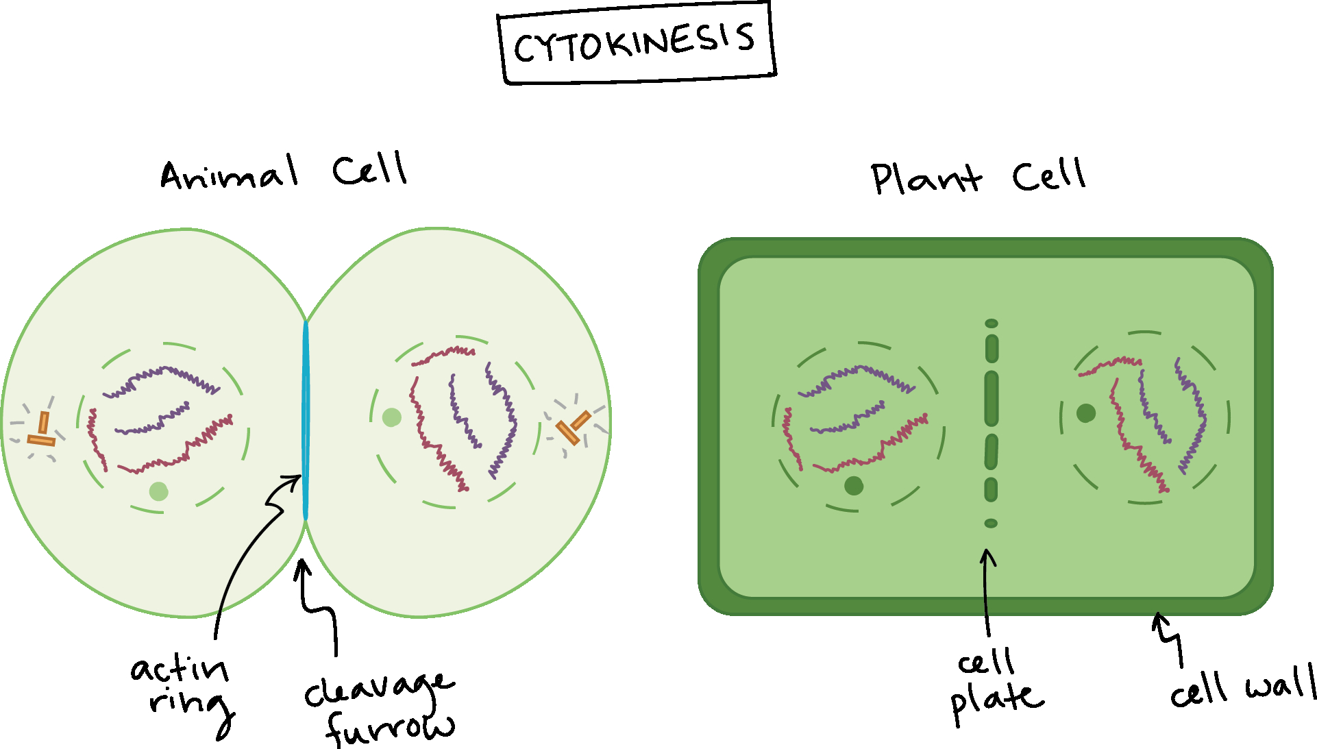 Cell Cycle Diagram The Cell Cycle And Mitosis Review Article Khan Academy
