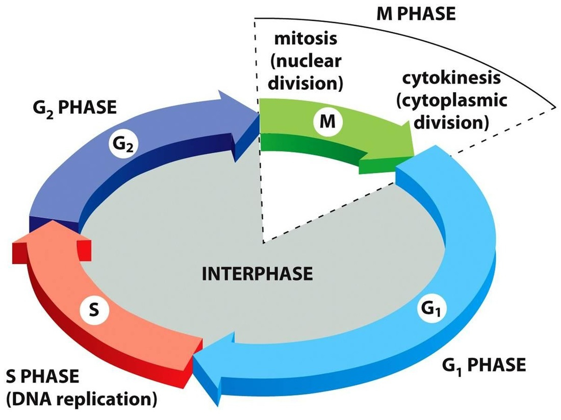 Cell Cycle Diagram Unit 4 Cell Cycle