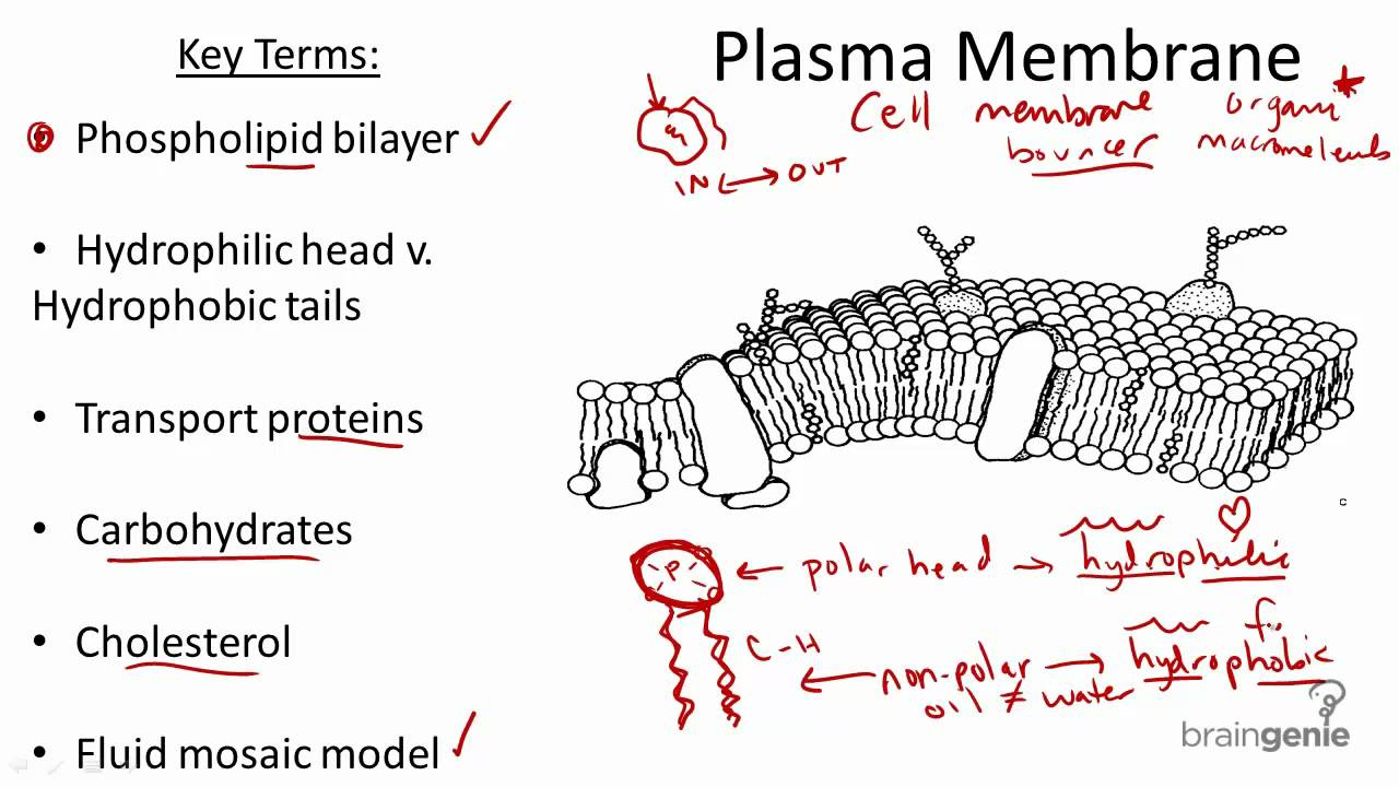 Cell Membrane Diagram 215 Plasma Membrane Structure And Function