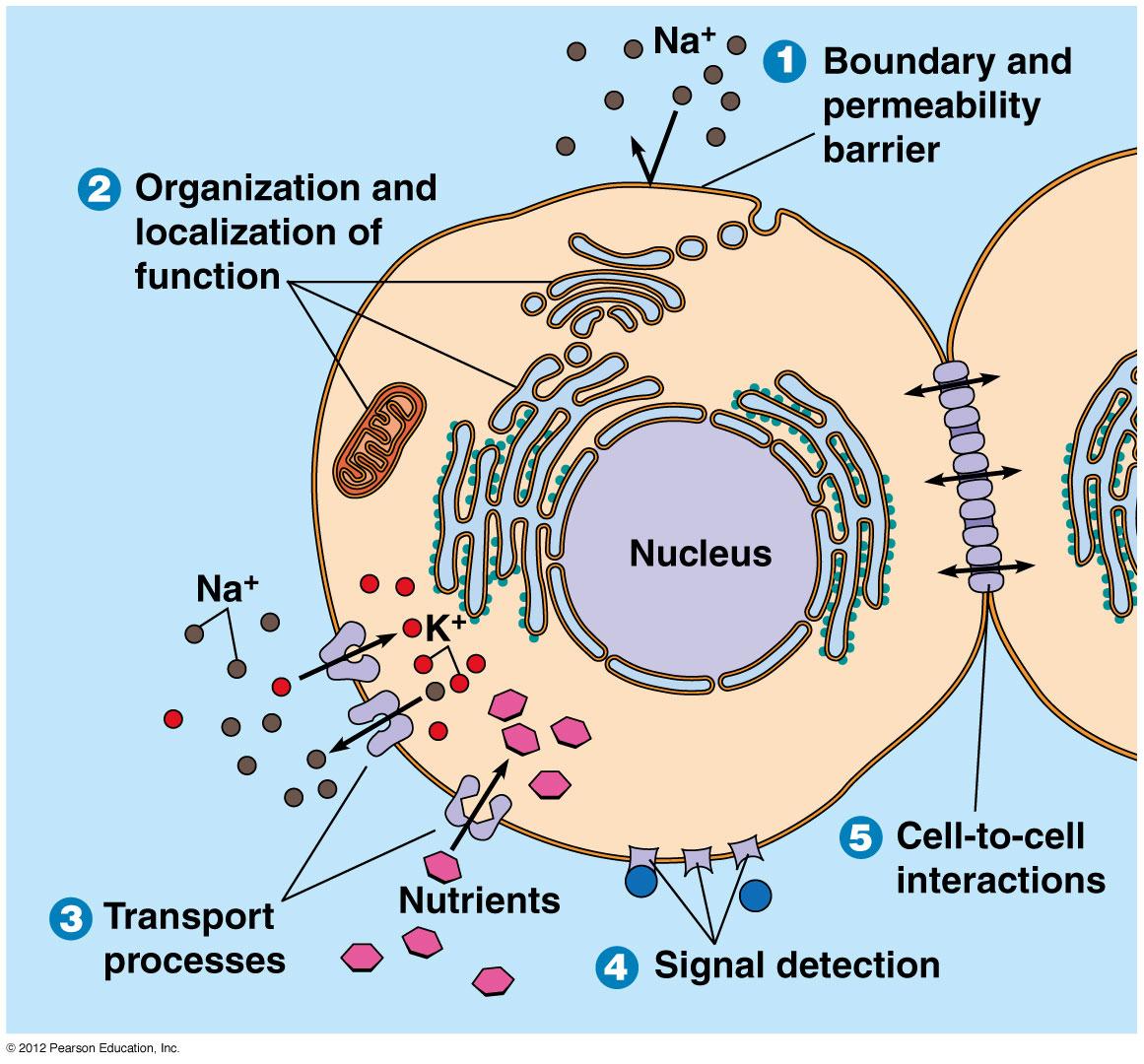 Cell Membrane Diagram Biol2060 Cell Biology
