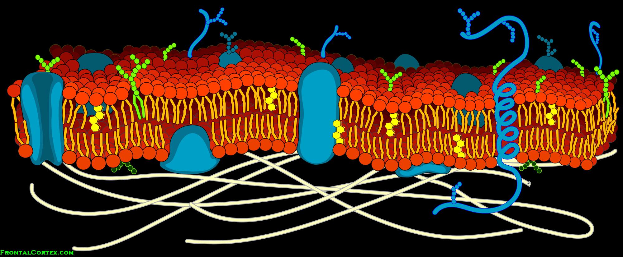 Cell Membrane Diagram Cell Membrane Detailed Diagram Blank