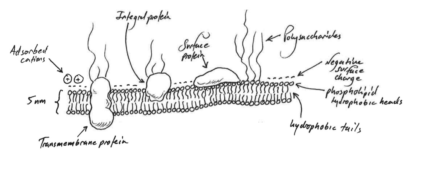 Cell Membrane Diagram Composition And Properties Of Cell Membranes Deranged Physiology