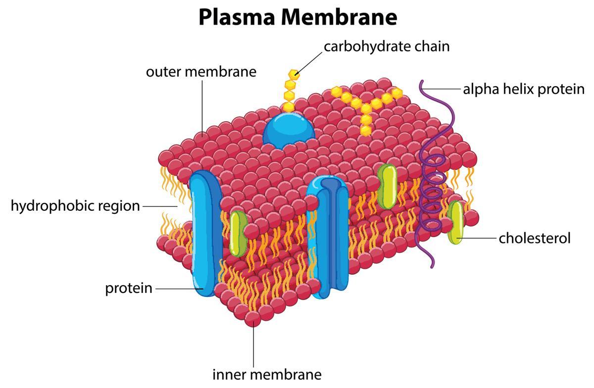 Cell Membrane Diagram Functions Of The Plasma Membrane