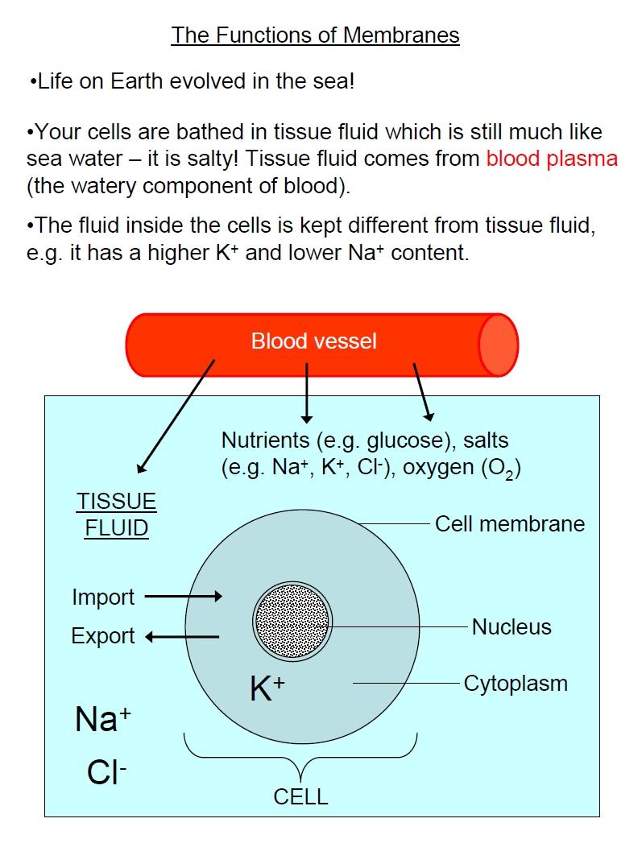 Cell Membrane Diagram Membranes