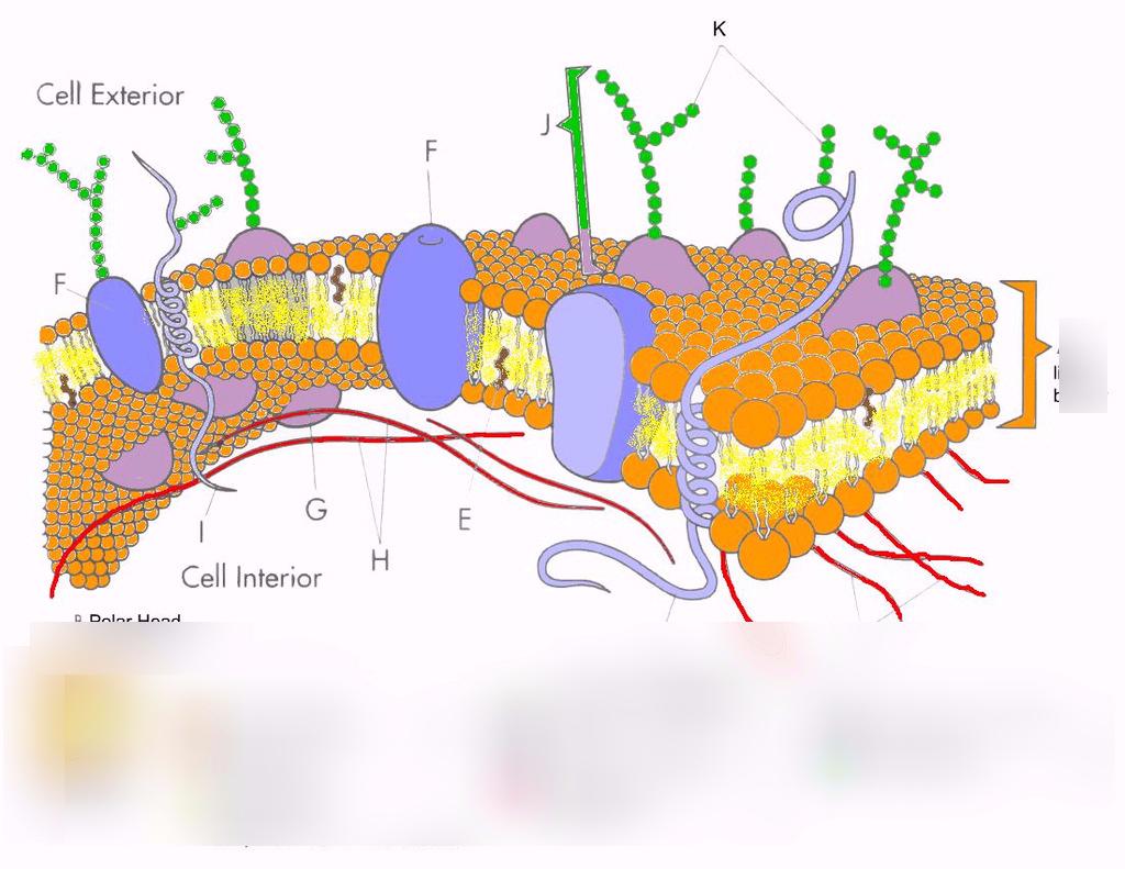 Cell Membrane Diagram Plasma Membrane Transport Diagram Quizlet