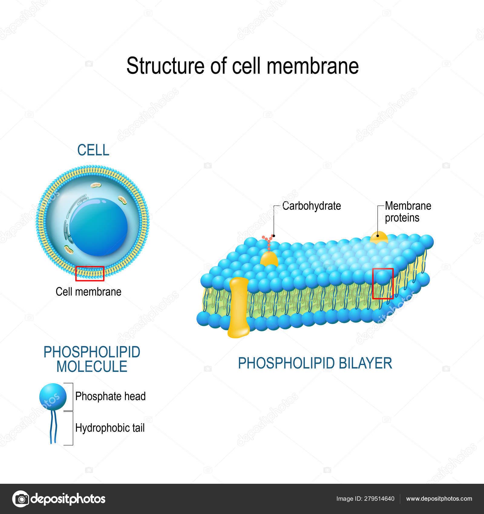 Cell Membrane Diagram Structure Of Cell Membrane Stock Vector Edesignua 279514640