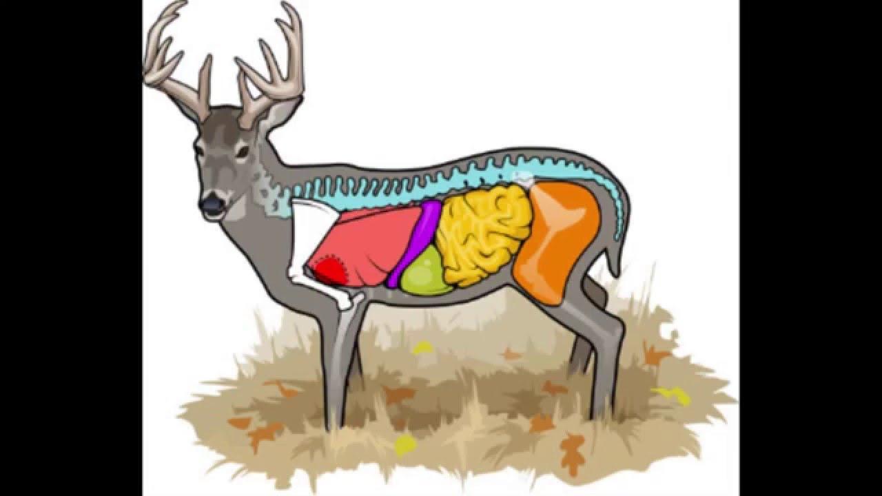 Deer Stand Placement Diagrams Deer Anatomy Where To Aim On A Deer Cabelas Deer Nation