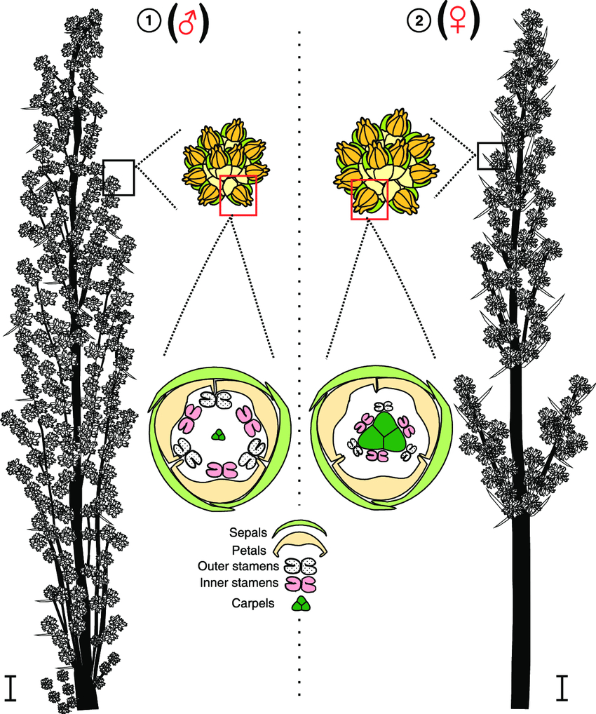 Diagram Of A Flower 2 Schematic Representation Of The Inflorescences Of Lomandra