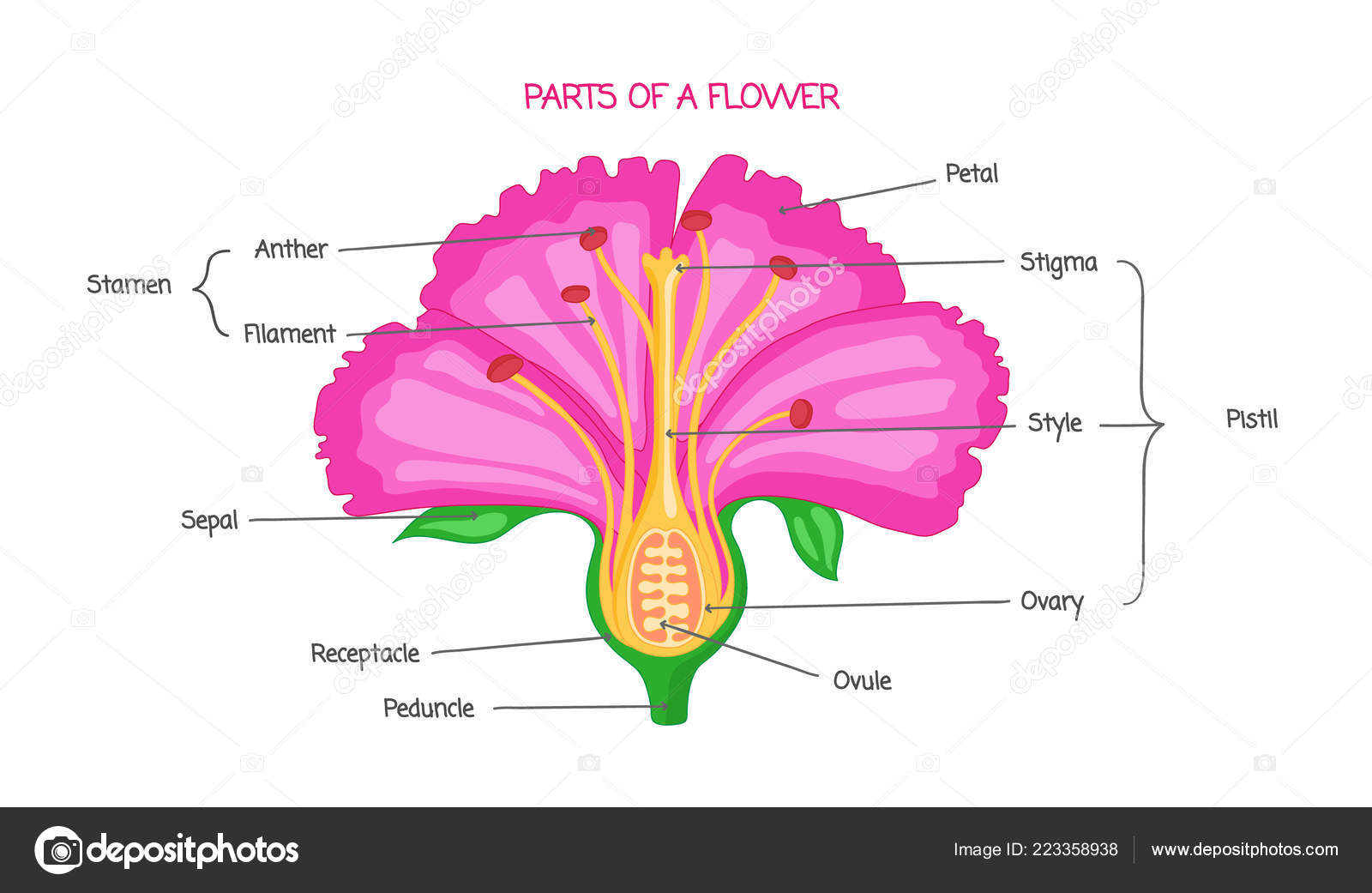 Diagram Of A Flower Cross Section Of A Hibiscus Flower Part Of A Flower Biological