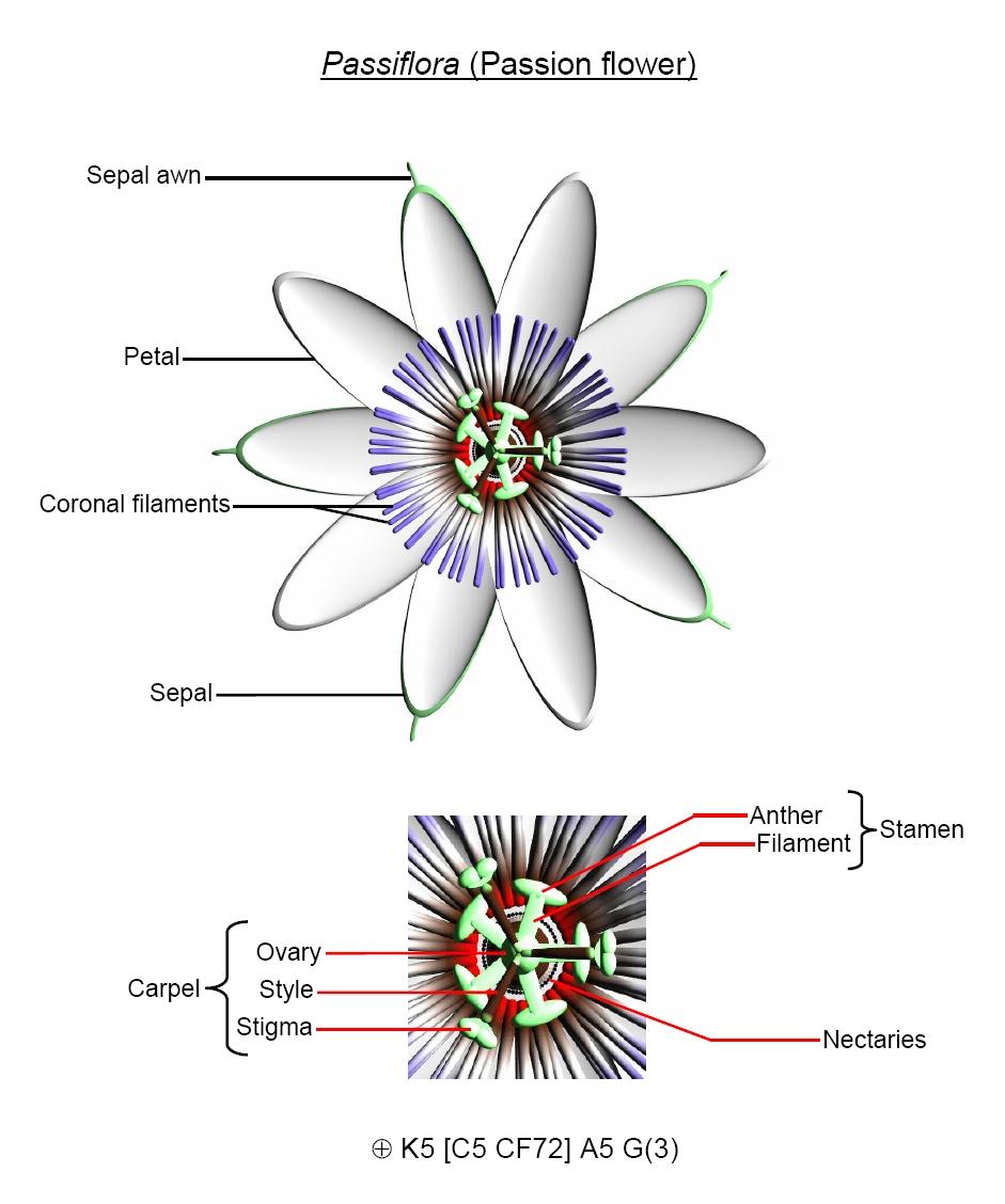 Diagram Of A Flower Flower Biology