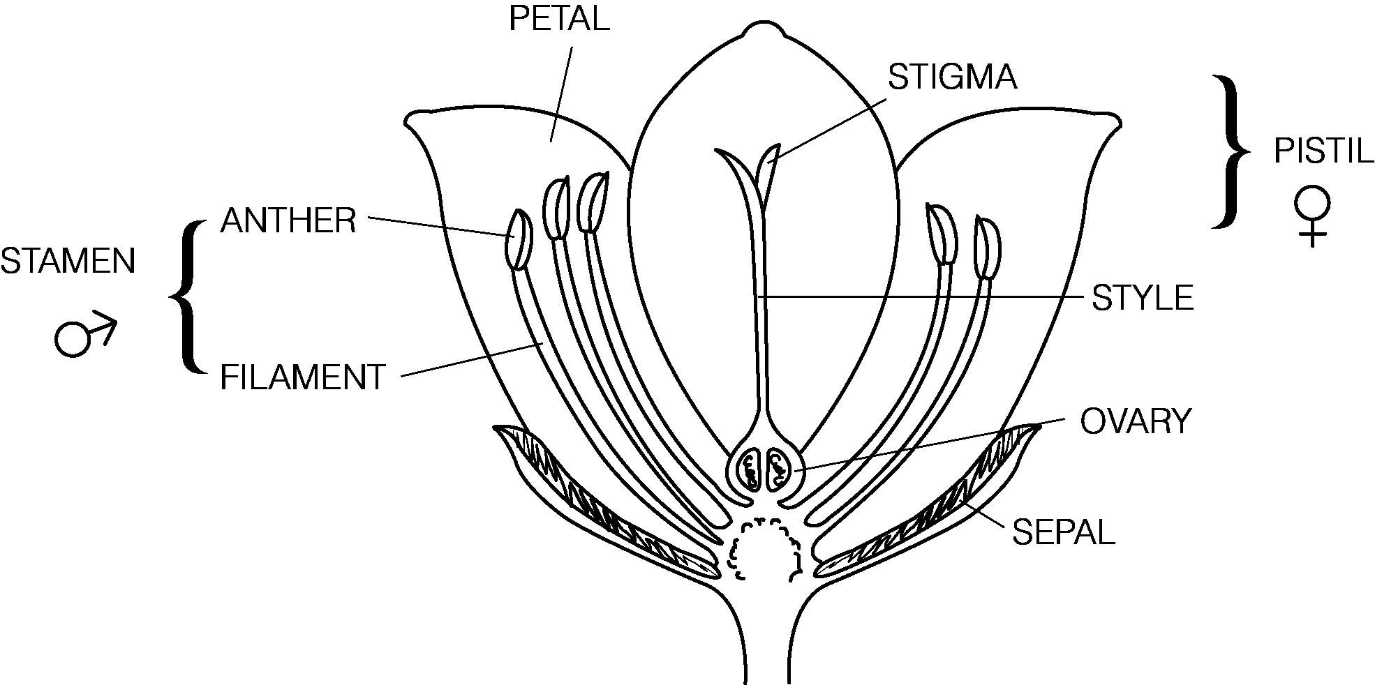 Diagram Of A Flower Flower Diagram Unmasa Dalha