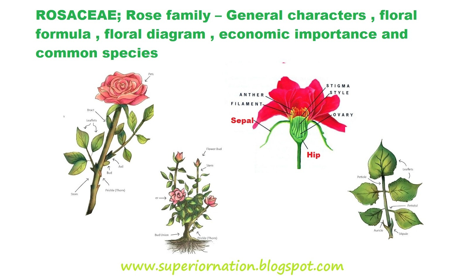 Diagram Of A Flower Rosaceae Rose Family General Characters Floral Formula Floral