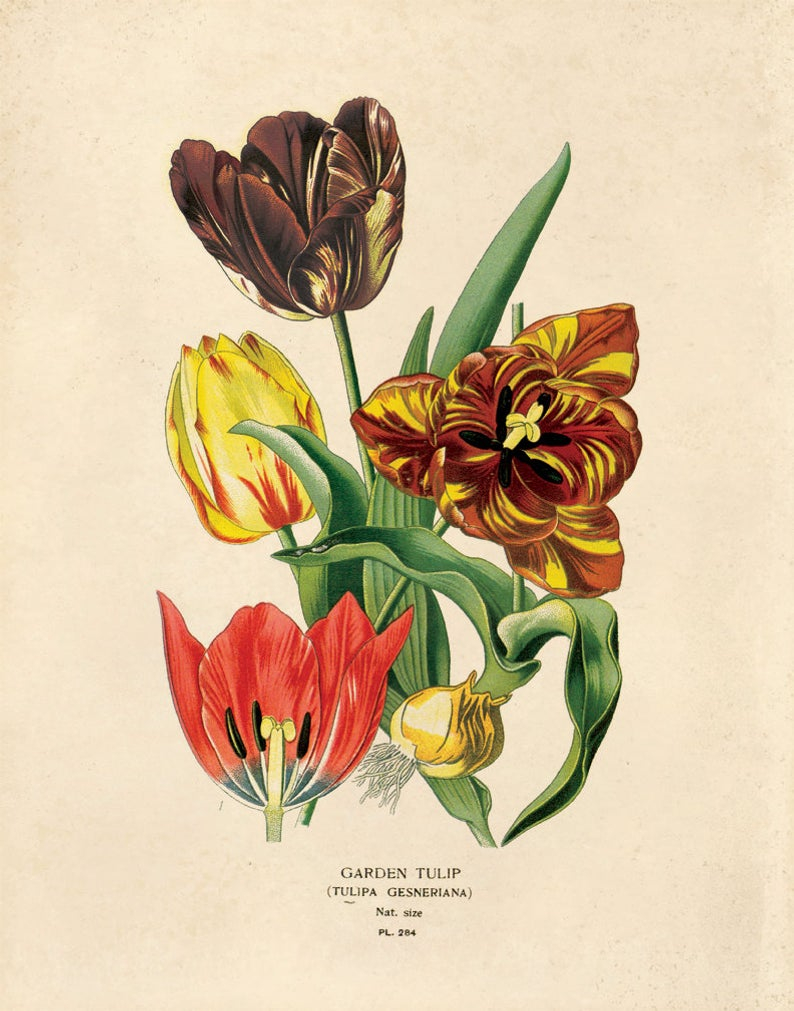 Diagram Of A Flower Vintage Tulip Flower Print Garden Tulip Educational Chart Diagram Flower Seed Packet Poster B020p