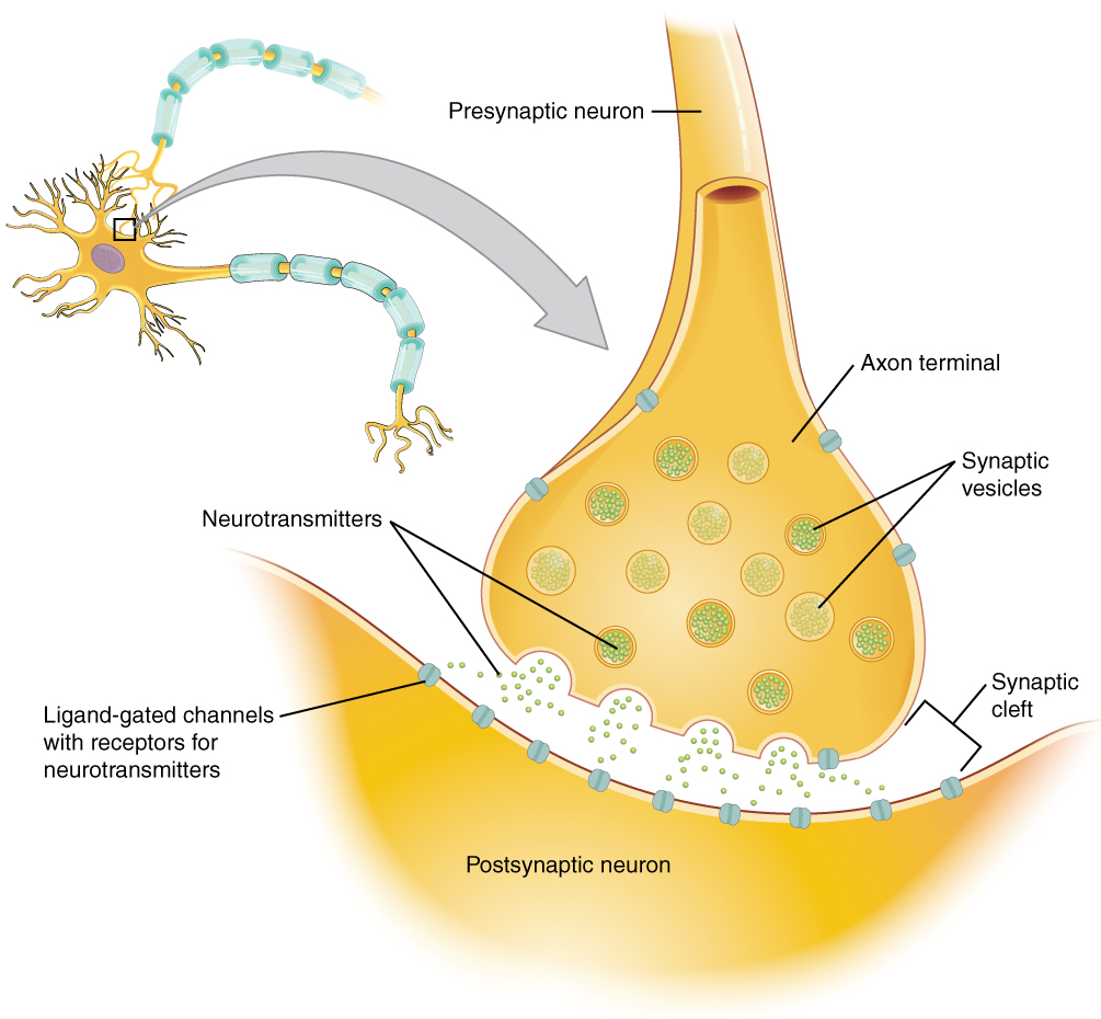 Diagram Of A Neuron 125 Communication Between Neurons Anatomy And Physiology