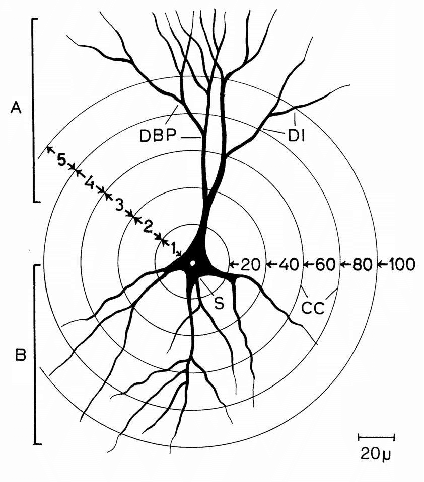 Diagram Of A Neuron Diagram Showing A Hippocampal Ca3 Neuron And The Scheme Of Dendritic
