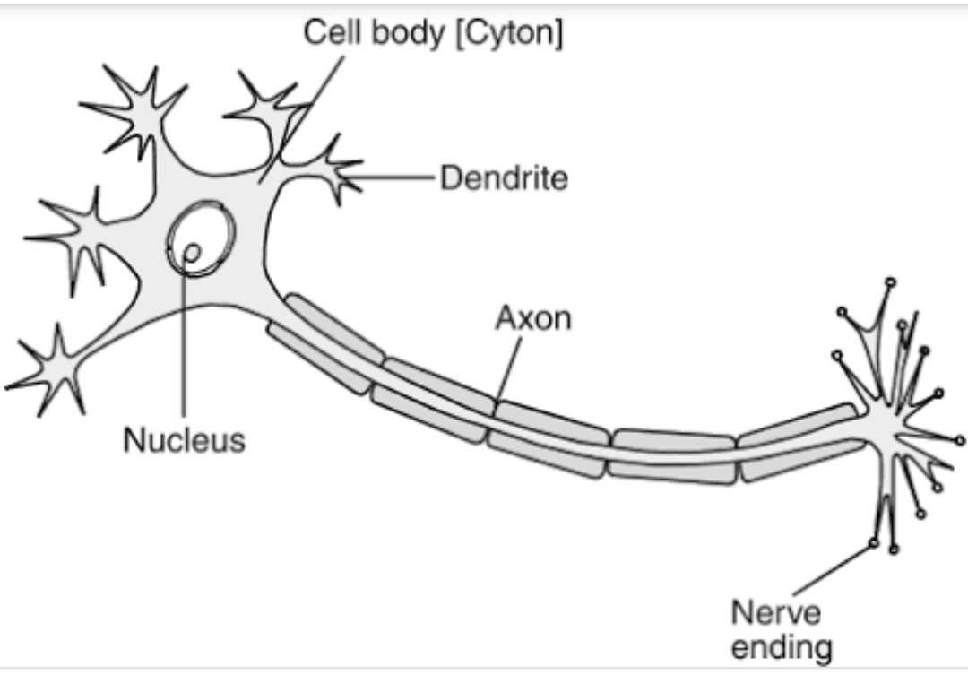 Diagram Of A Neuron Draw Diagram Of Neuron And Label Cell Body Dendrites And Ax Scholr