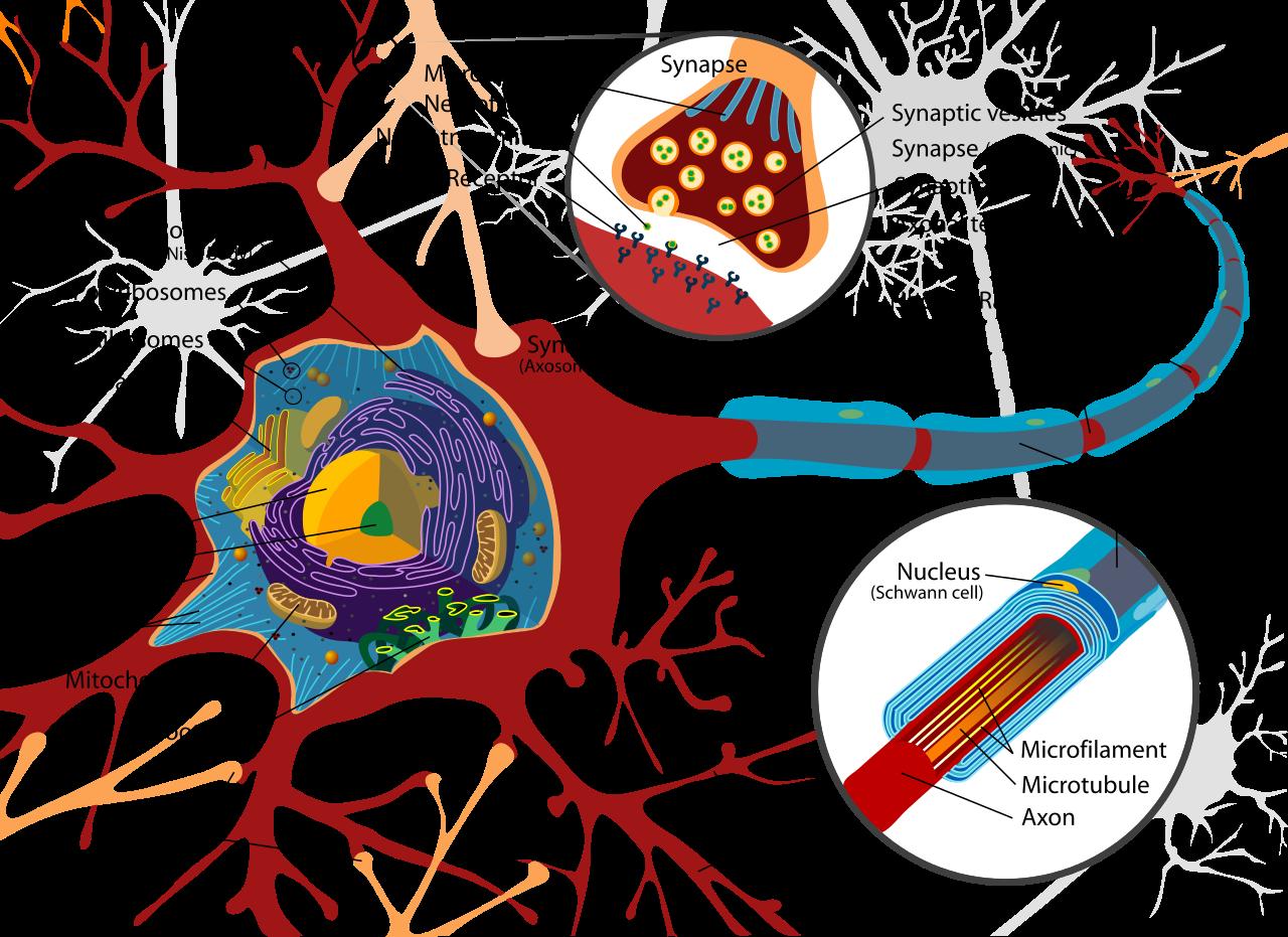Diagram Of A Neuron Filecomplete Neuron Cell Diagram Ensvg Wikipedia