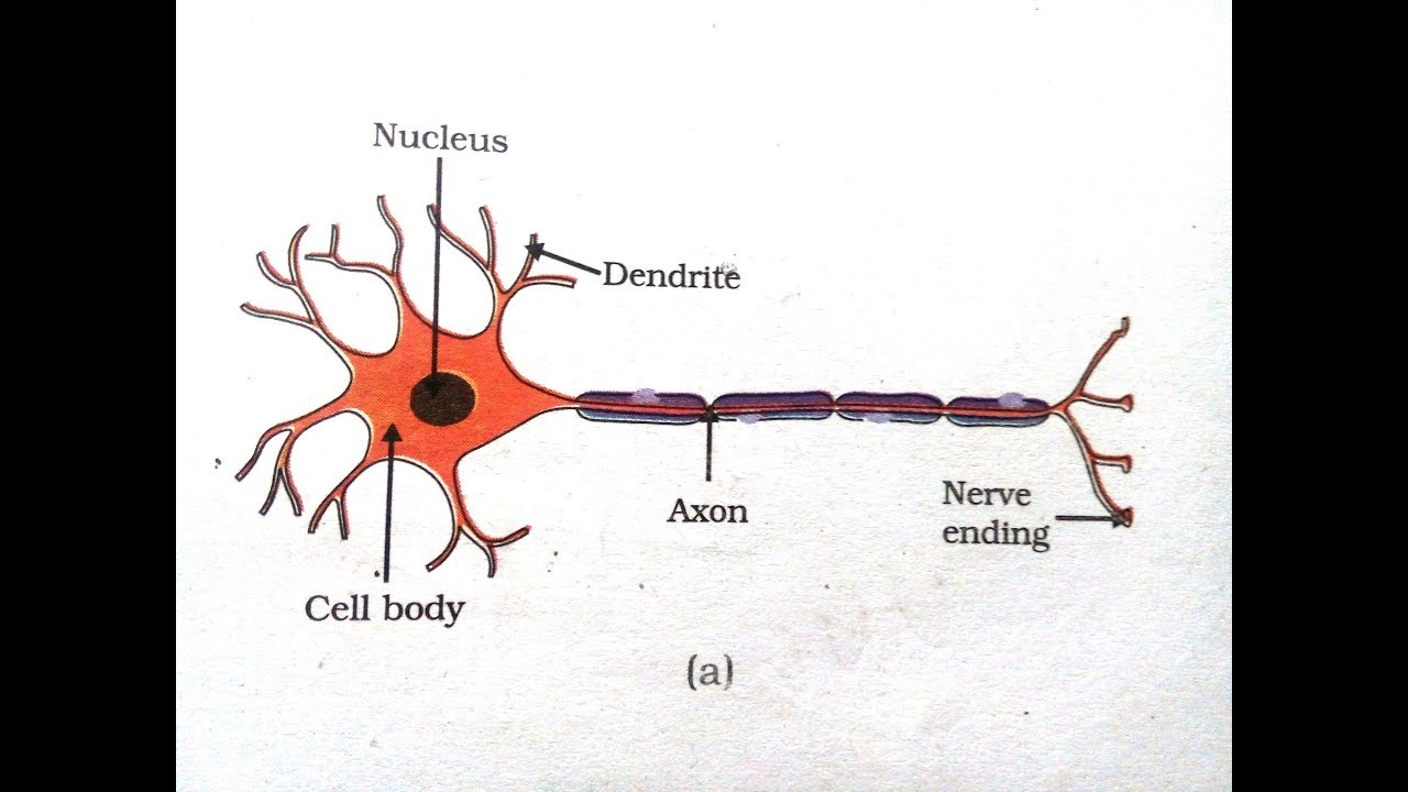 Diagram Of A Neuron How To Draw A Motor Neuron