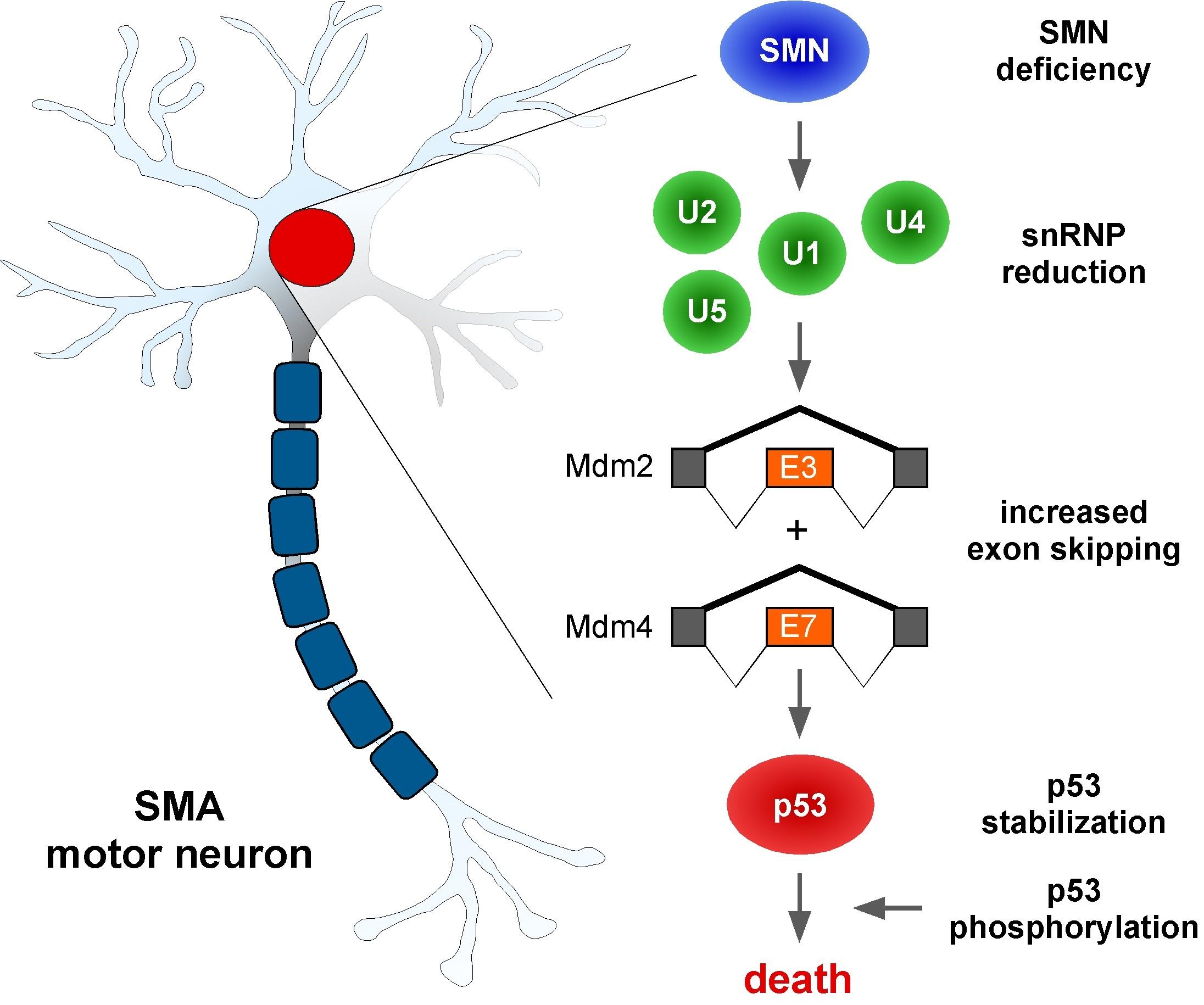 Diagram Of A Neuron Motor Neuron Center