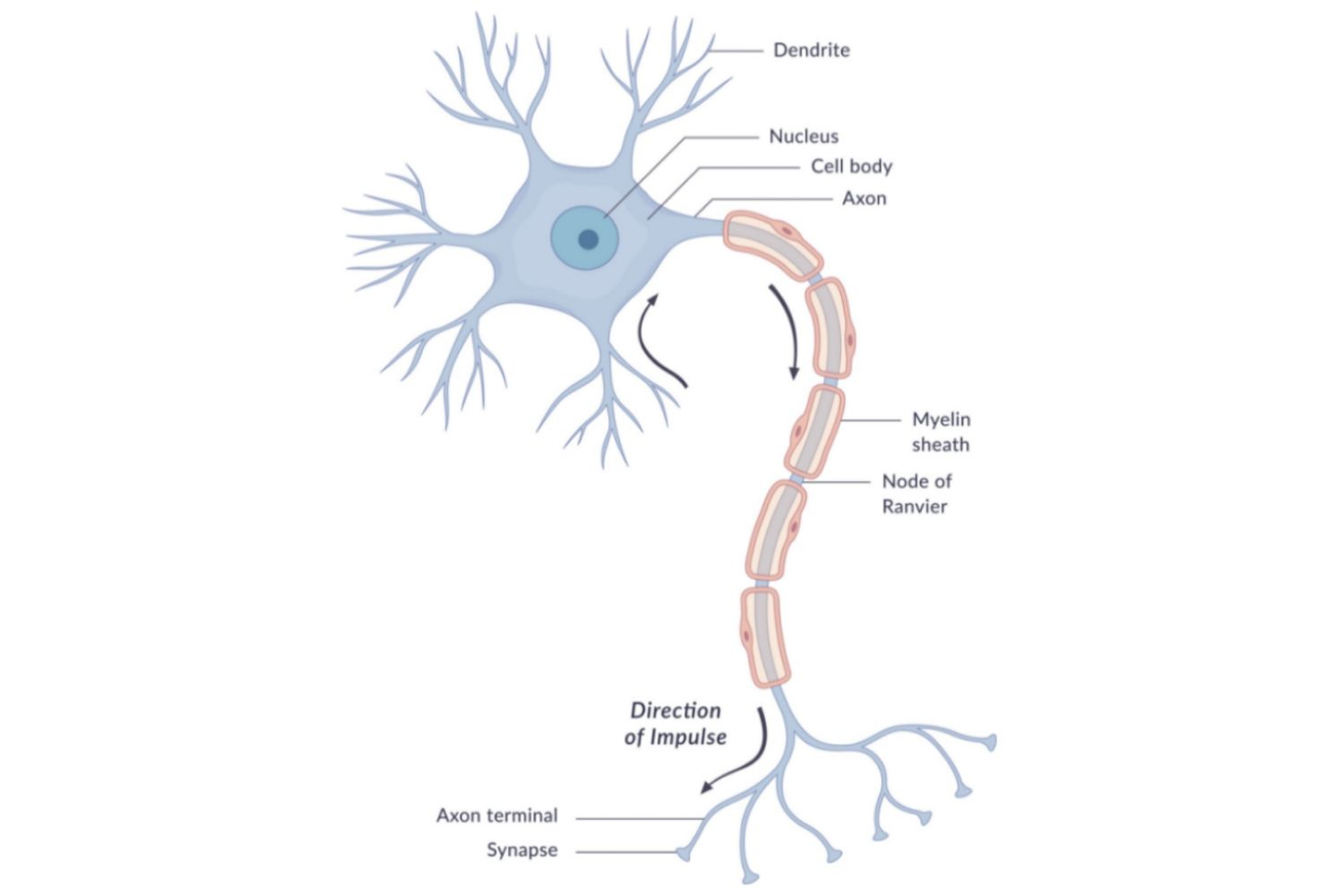 Diagram Of A Neuron Neuron Anatomy Nerve Impulses And Classifications