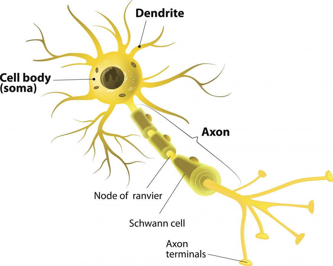 Diagram Of A Neuron Neurons What Are They And How Do They Work