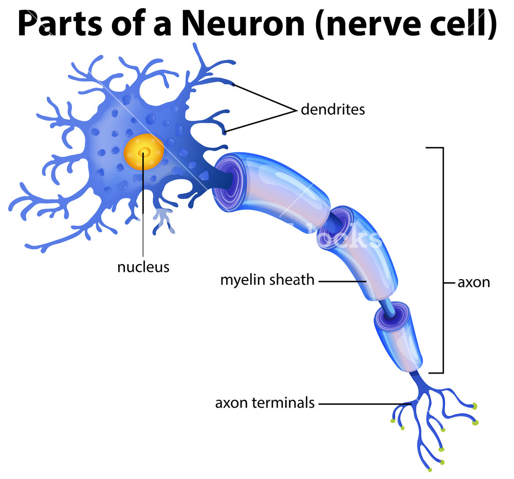 Diagram Of A Neuron Part Of A Neuron Diagram Royalty Free Stock Image Storyblocks Images