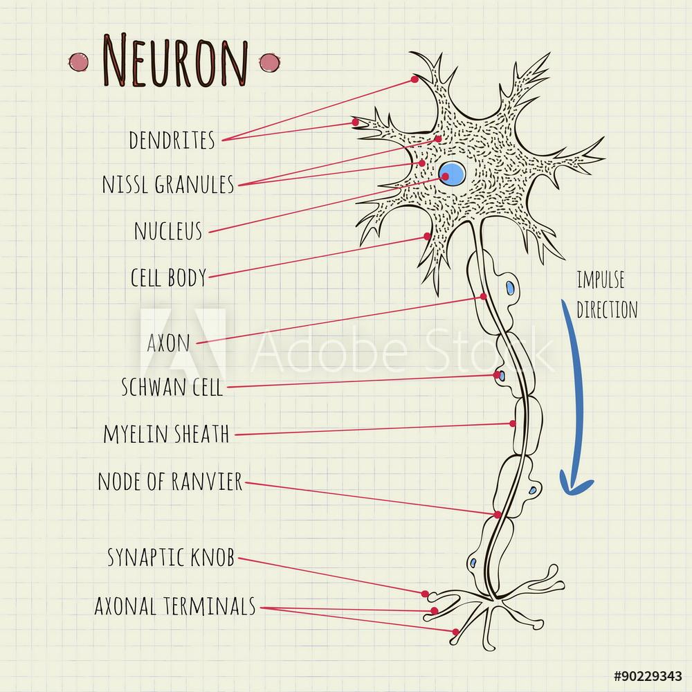 Diagram Of A Neuron Photo Art Print Vector Illustration Neuron Chart Europosters