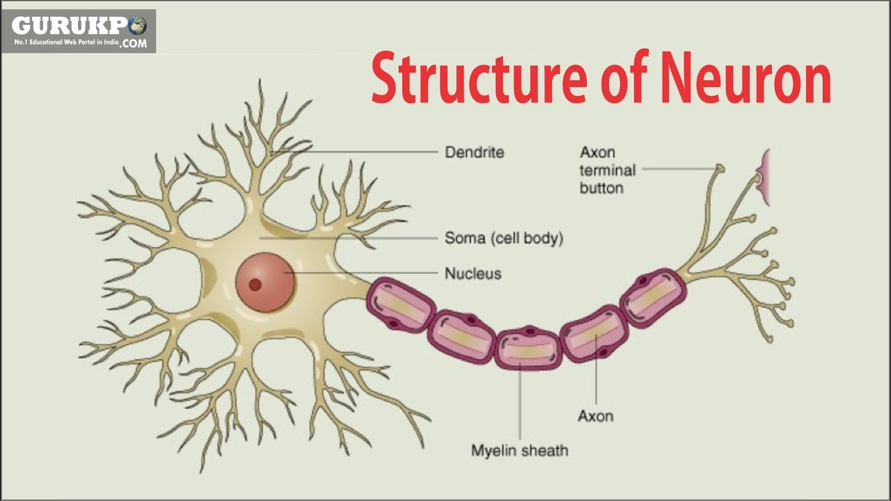 Diagram Of A Neuron Structure Of Neuron Bsc Msc Physiology Gurukpo