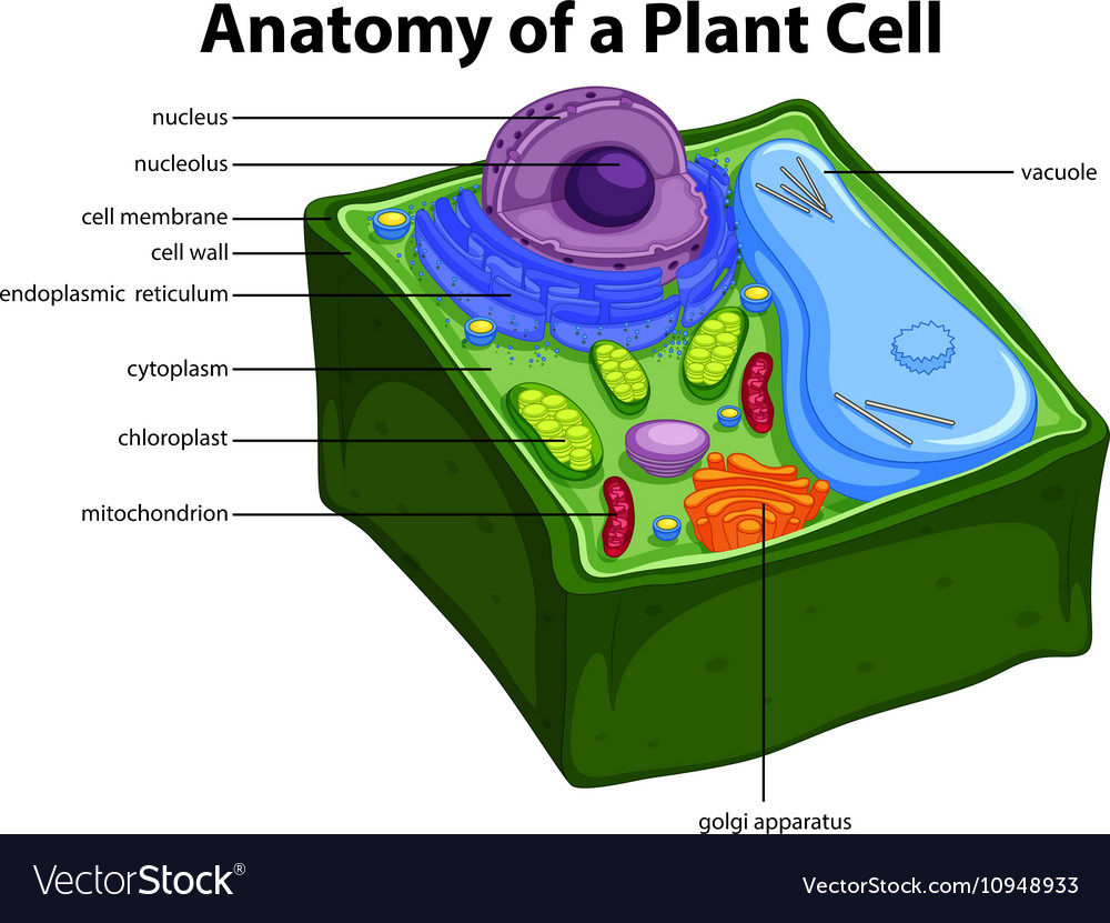 Diagram Of A Plant Cell Diagram Showing Anatomy Of Plant Cell