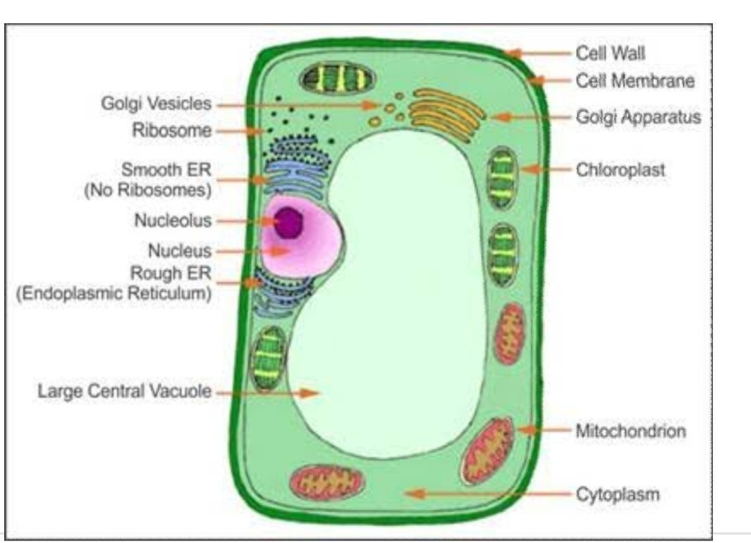Diagram Of A Plant Cell Draw A Well Labelled Diagram Of Plant Cell Or Animal Cell Brainlyin