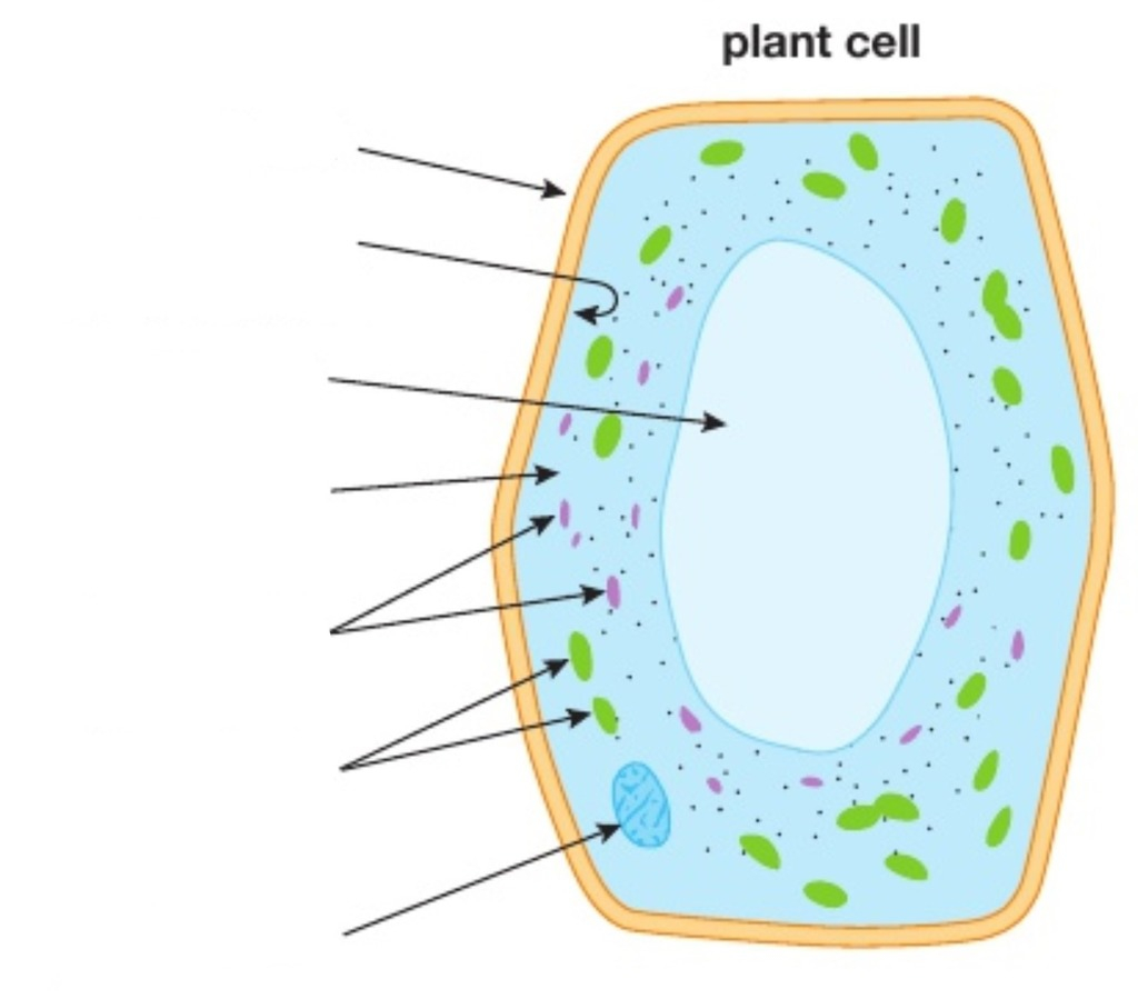 Diagram Of A Plant Cell Igcse Biology Diagrams Plant Cell Diagram Quizlet