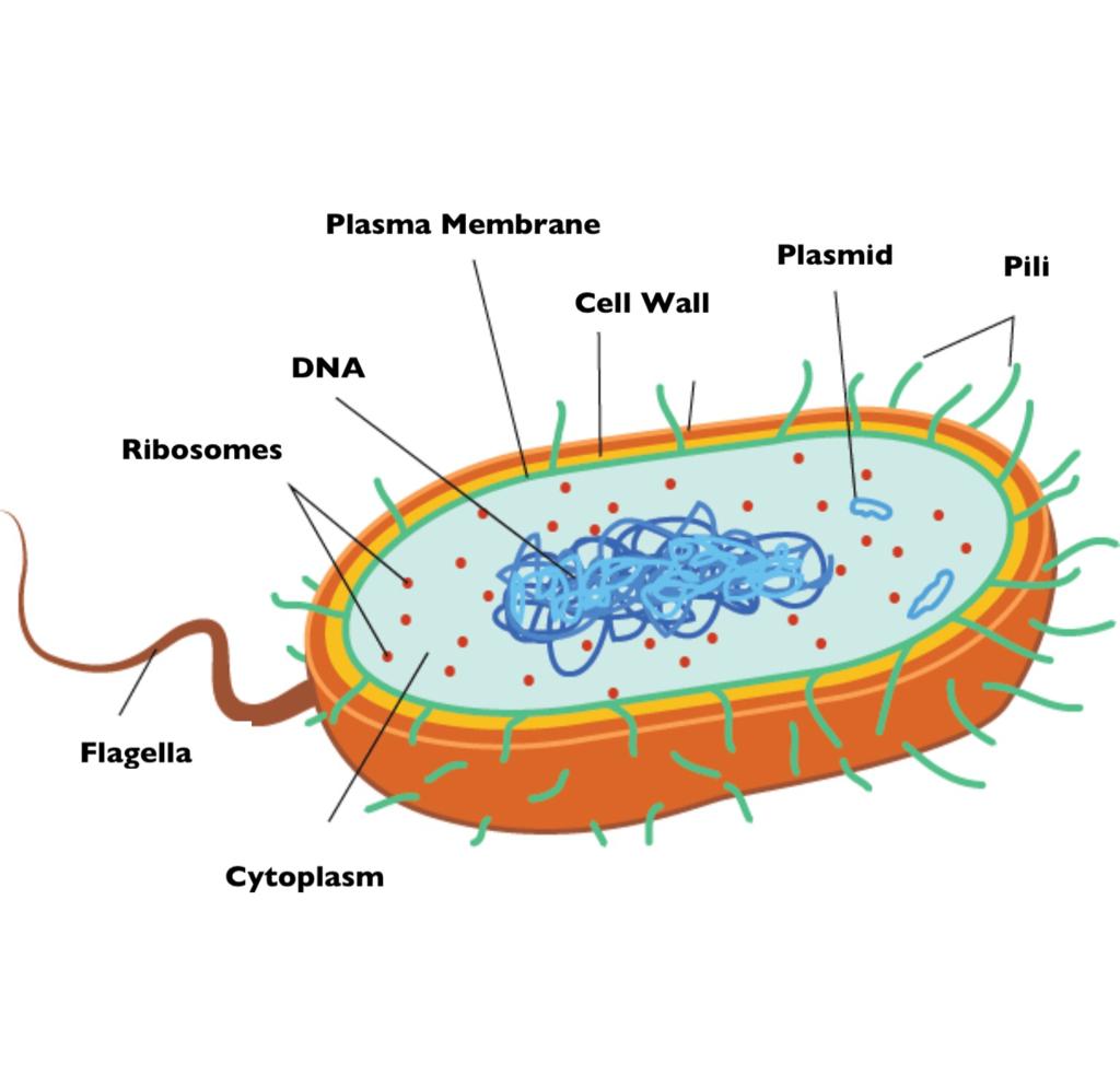Diagram Of Bacteria Bacteria Grade 11 Biology Study Guide
