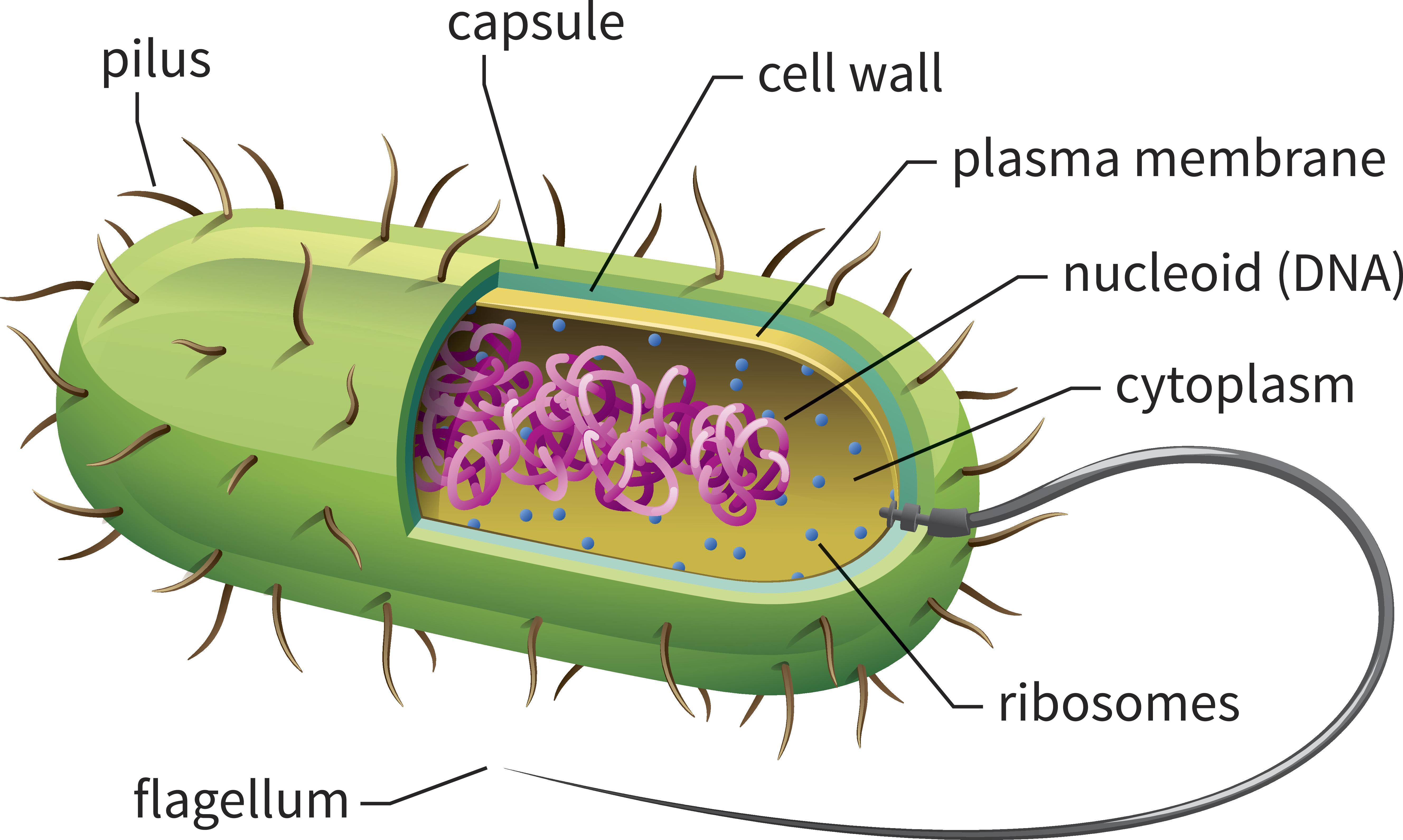 Diagram Of Bacteria Bacteria Walk A Bit Like We Do