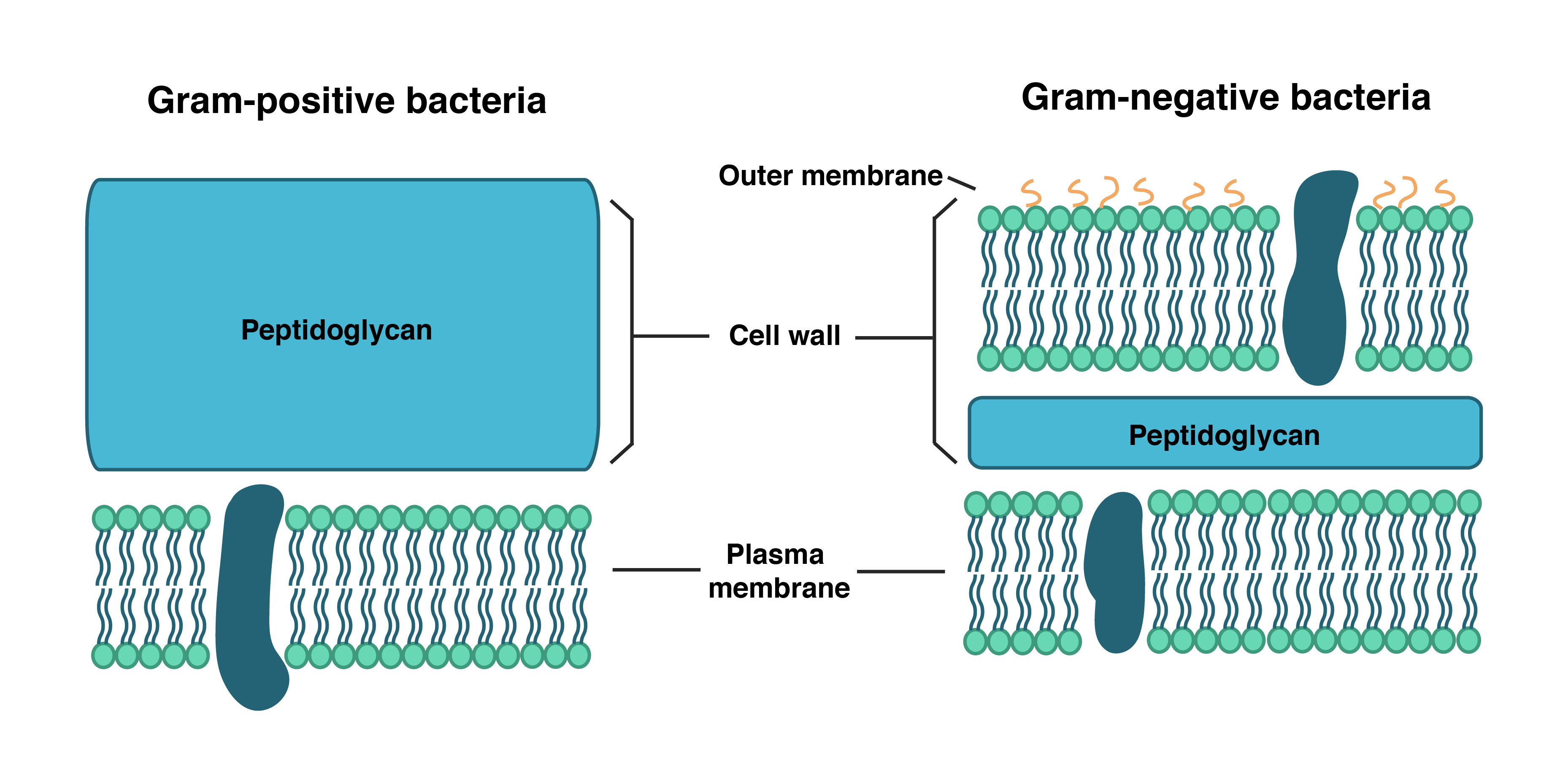 Diagram Of Bacteria Bacterial Cell Wall Structure Composition And Types Online