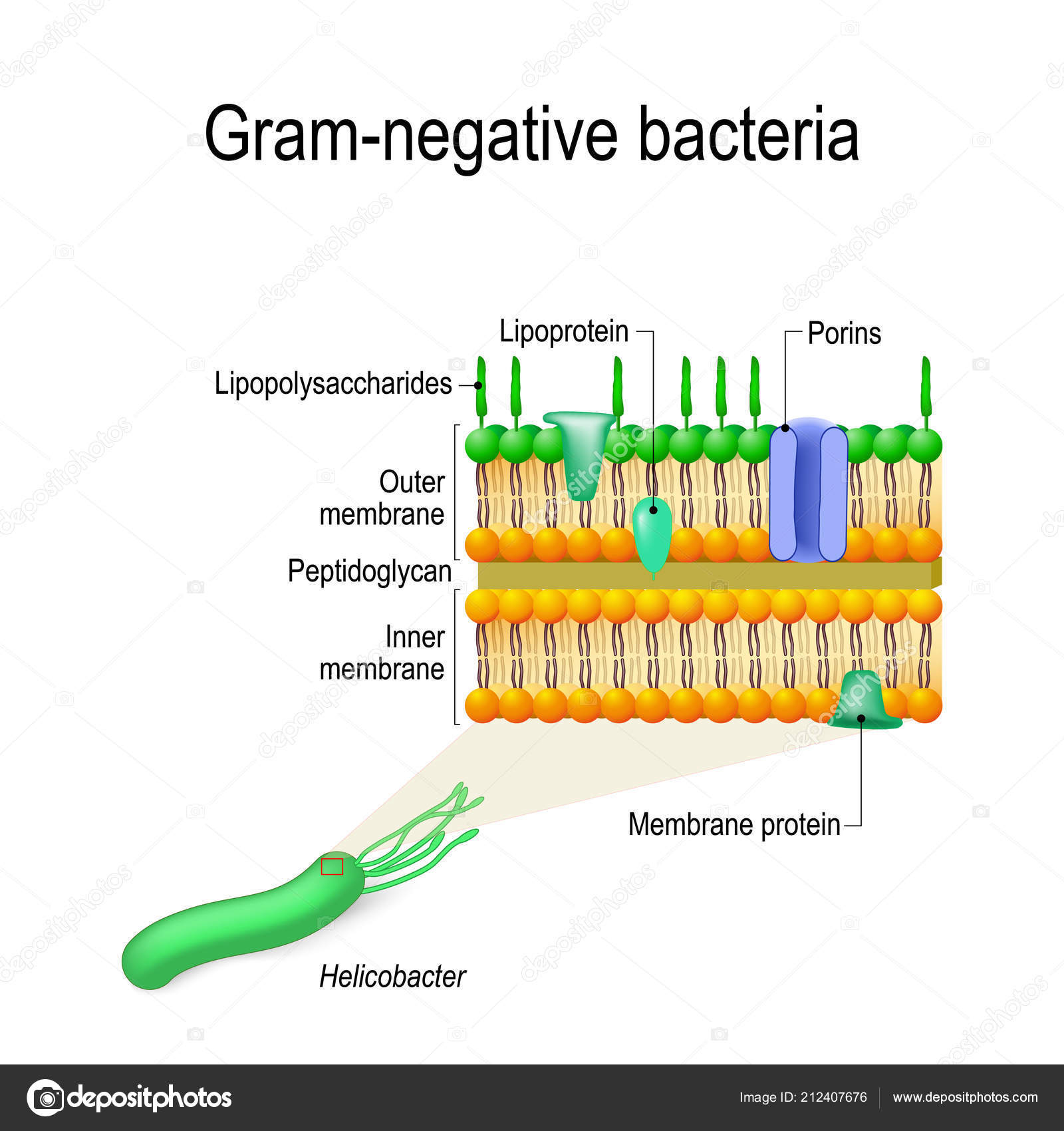 Diagram Of Bacteria Cell Wall Structure Gram Negative Bacteria Example Helicobacter