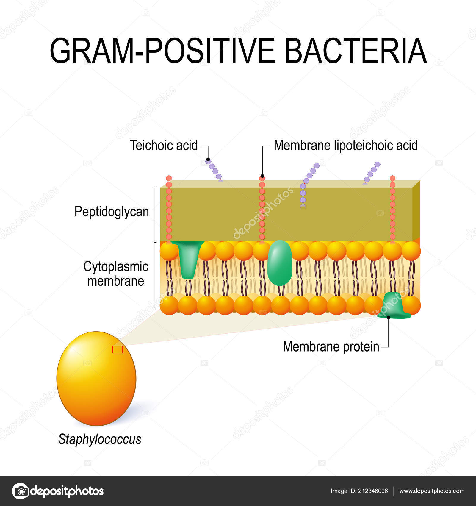 Diagram Of Bacteria Cell Wall Structure Gram Positive Bacteria Example Staphylococcus