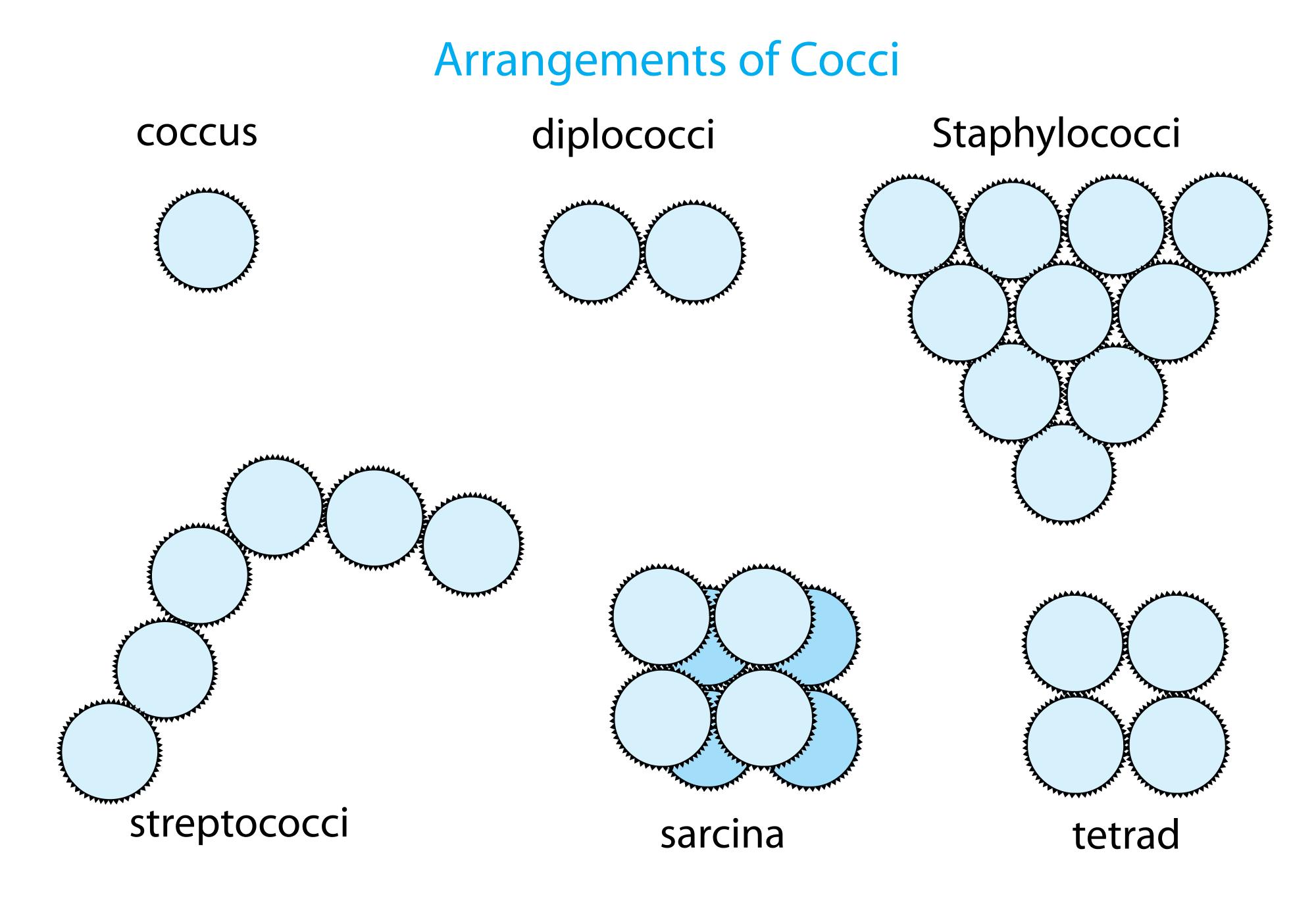 Diagram Of Bacteria Coccus Wikipedia