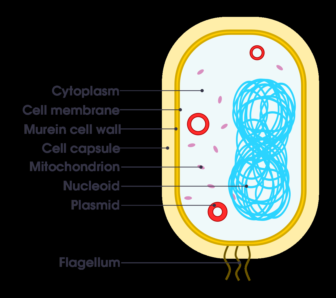 Diagram Of Bacteria Filesimple Diagram Of Bacterium Ensvg Wikimedia Commons