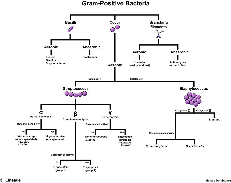 Diagram Of Bacteria Gram Positive Bacteria Microbiology Medbullets Step 1