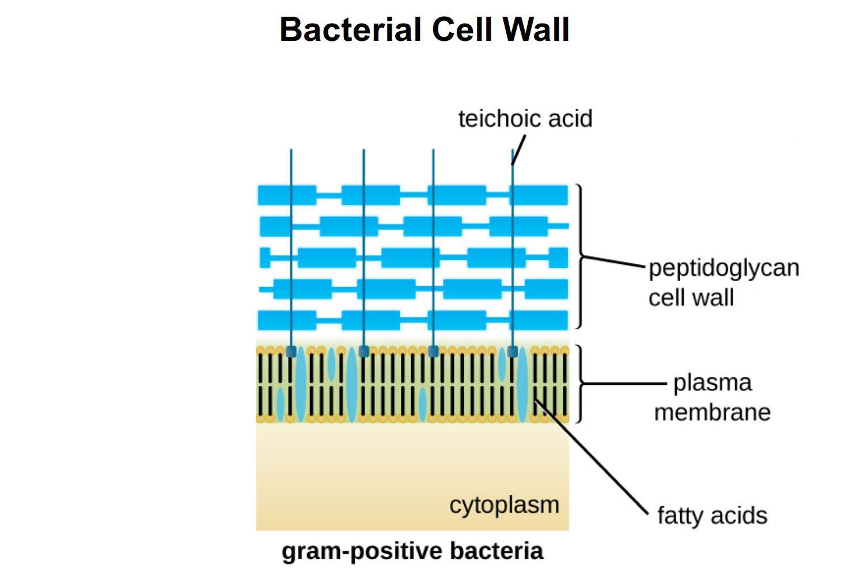 Diagram Of Bacteria Gram Positive Vs Gram Negative Bacteria