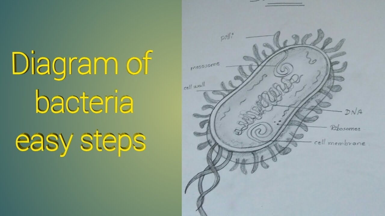 Diagram Of Bacteria How To Draw Diagram Of Bacteria Easy Steps