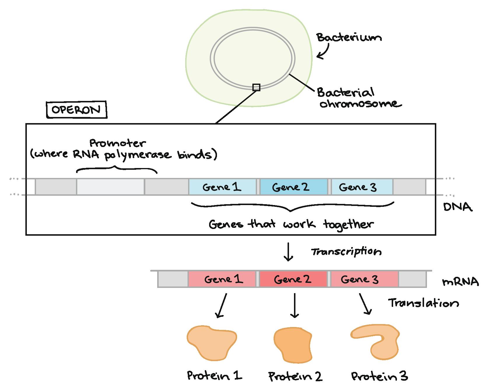 Diagram Of Bacteria Overview Gene Regulation In Bacteria Article Khan Academy